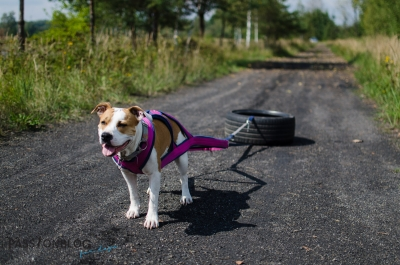 pies podczas treningu weight pulling
