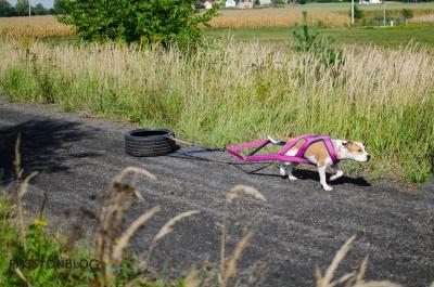 pies trenujący weight pulling podczas spaceru
