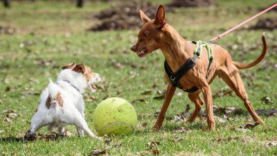 Pies warczy na drugiego