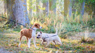 Dwa psy na smyczy podczas spaceru