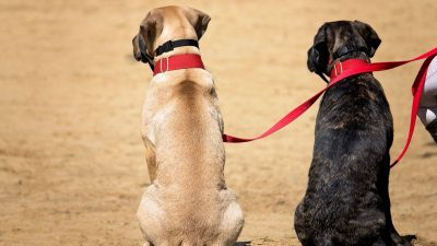Dwa psy na smyczy siedzą obok siebie