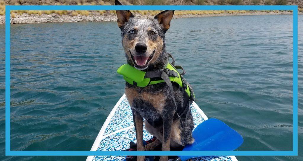 Pies na desce na wodzie